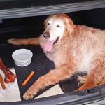 The Loss of Chipper, a Golden Retriever